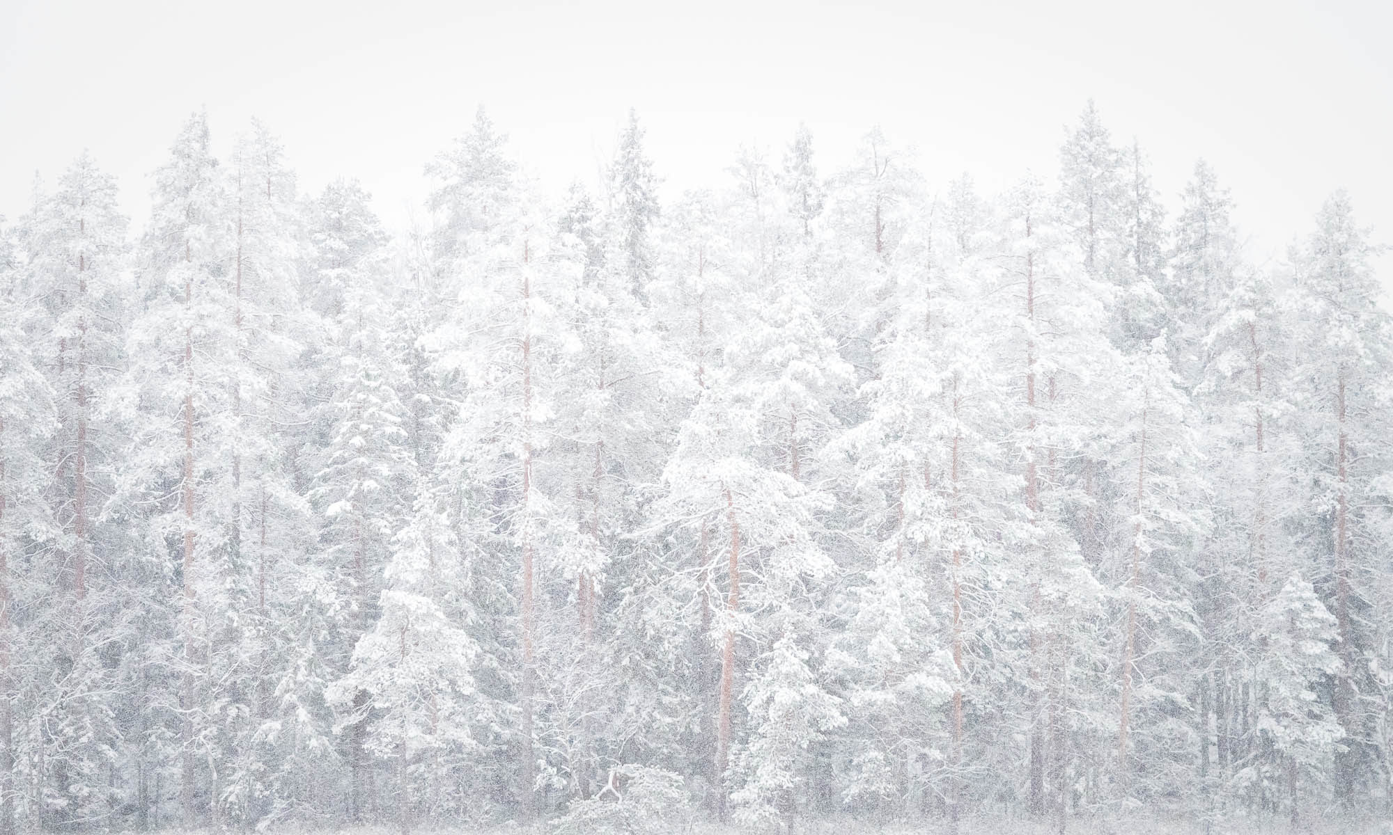 Nuuksio National Park in winter. Looks like a white Christmas in beautiful snowy Finnish forest. Nature near Helsinki, Finland.