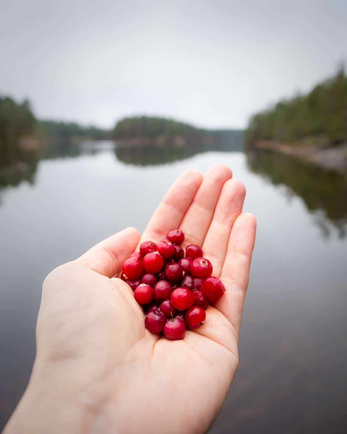 Nuuksio National Park in fall. Handful of wild cranberries straight from nature. Nature near Helsinki, Finland.