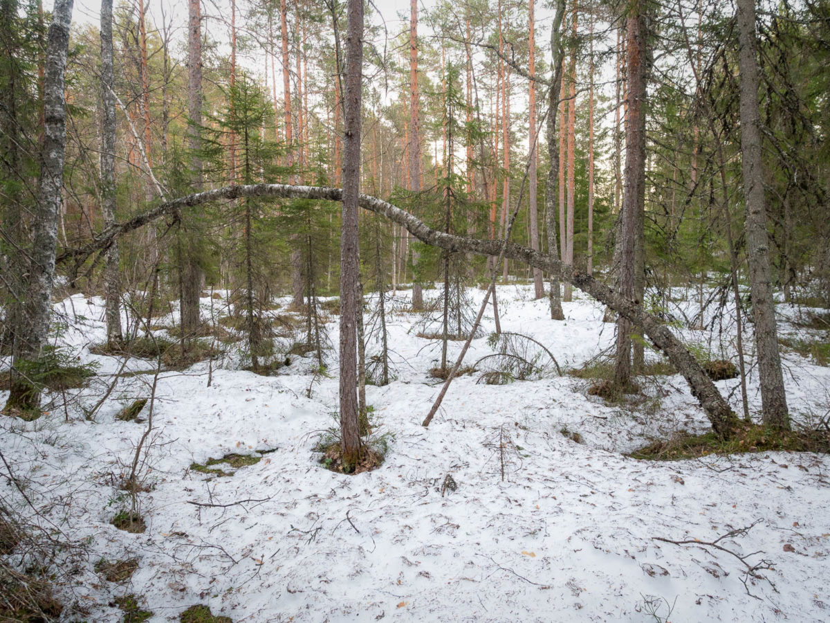 Nuuksio National Park in spring, in April. Deepest and darkest spots are still covered in snow. Finnish nature near Helsinki, Finland.