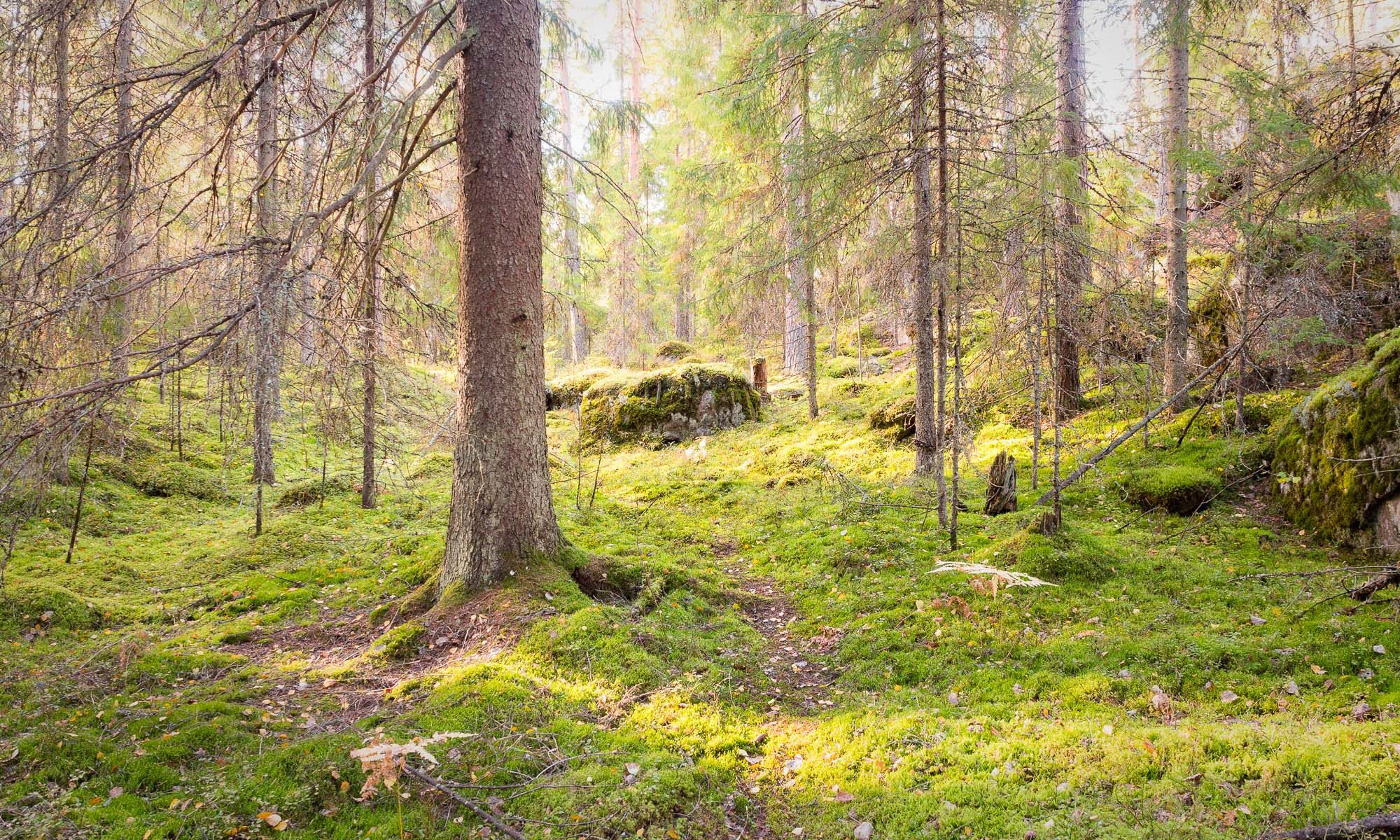 Nuuksio National Park in fall. Deep in Finnish forest searching for mushrooms. Nature near Helsinki, Finland.