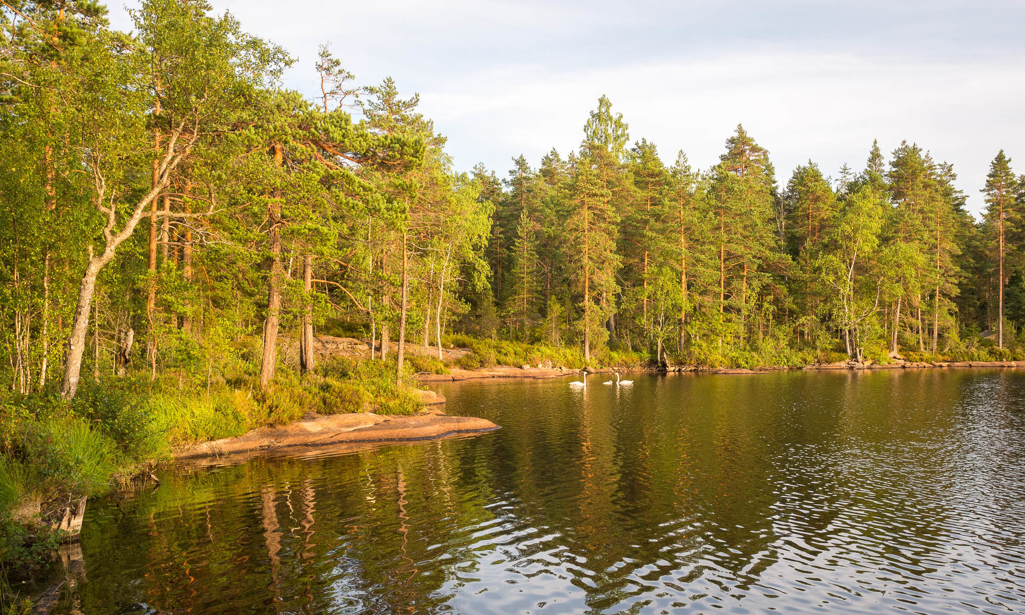 Nuuksio National Park in summer. Finnish national birds, whooper swans, with their small baby in the national park's quiet side. Nature near Helsinki, Finland.