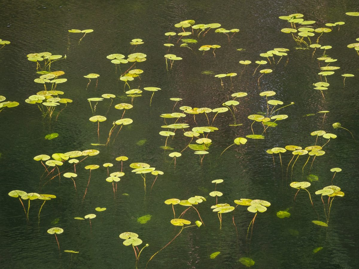 Nuuksio National Park in summer. Yellow water-lilies floating on a lake's surface in August. Nature near Helsinki, Finland.