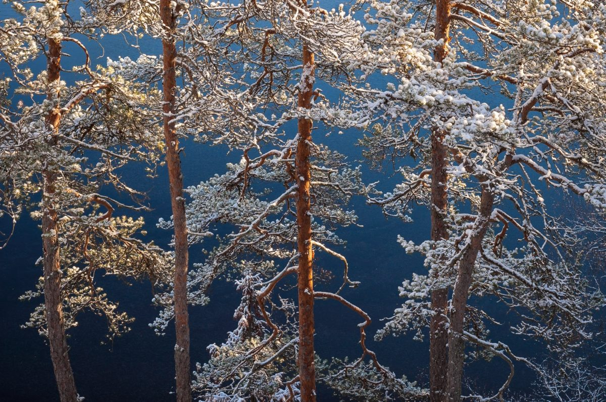 Nuuksio National Park in winter. Trees after snowfall in November with frozen lake in the background. Nature near Helsinki, Finland.